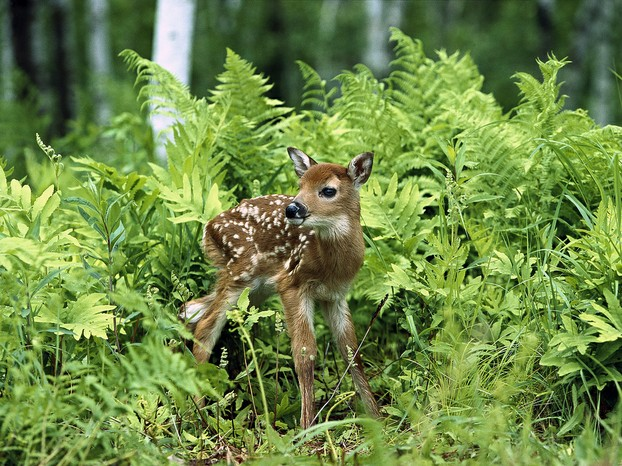Fawns await, in hiding places chosen by does, their mothers' return from food forays.