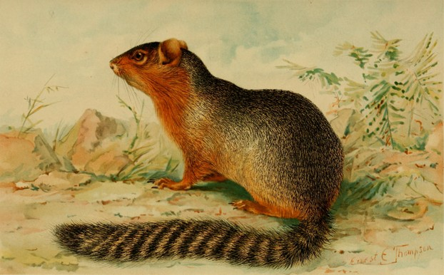 A.H. Howell, Revision of the North American Ground Squirrels (1938), Plate 9, opp. p. 28