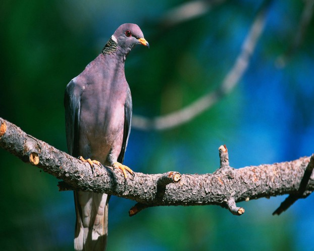 band-tailed pigeon (Patagioenas fasciata) in Arizona