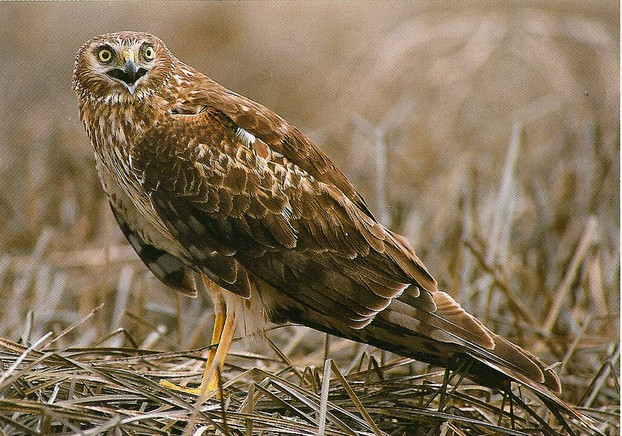 Northern harrier (marsh hawk)