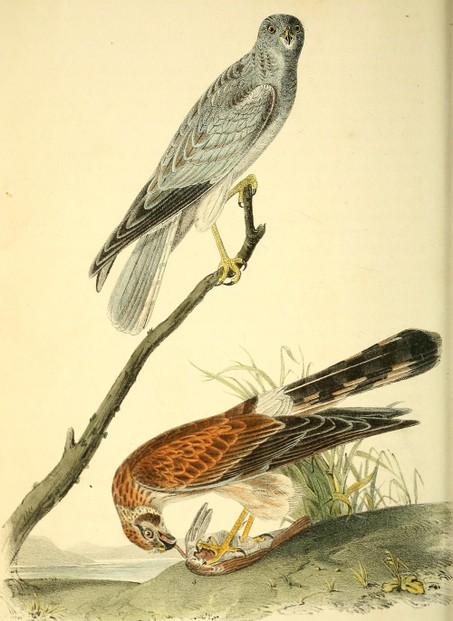 illustrations by John James Audubon (April 26, 1785 - January 27, 1851