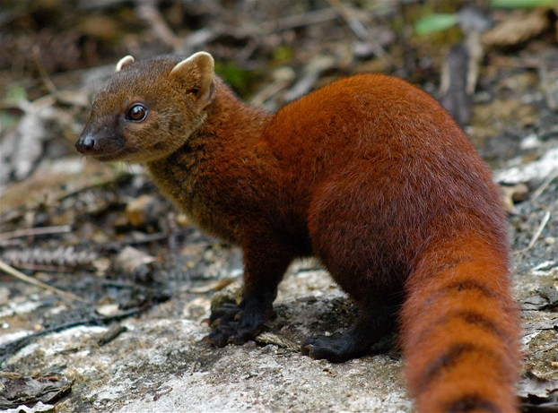 Ring-tailed Mongoose (Galidia elegans), Madagascar
