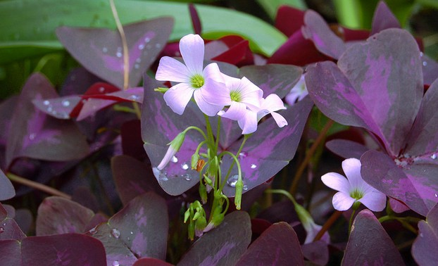 Flowers in a purple shamrock plant
