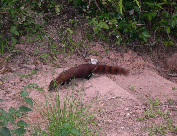 ringtail mongoose in habitat