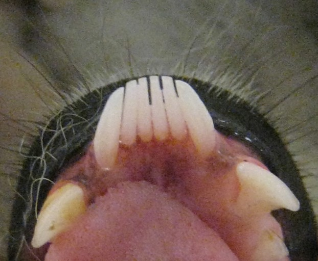 Toothcomb of a Lemur catta; taken during a routine physical examination