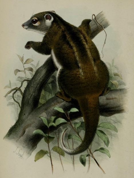 "Robert Collett, ""On some apparently new Marsupials from Queensland"" (1884), Plate XXIX, between pages 380 and 381"