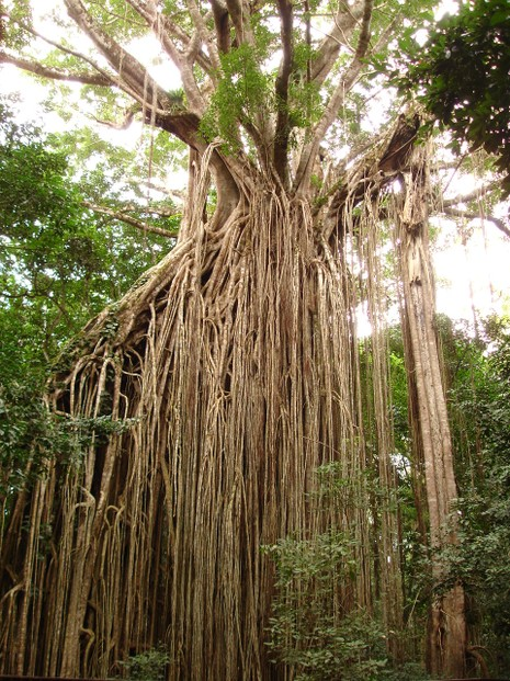 """Curtain Fig Tree in the Table Lands of Queensland, Australia"""