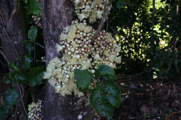 Syzygium cormiflorum, Lake Eacham, Atherton Tableland - buds and flowers on trunk