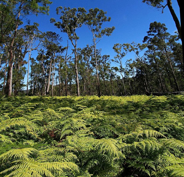 """Bracken fern in open woodland on the Herberton Range."""