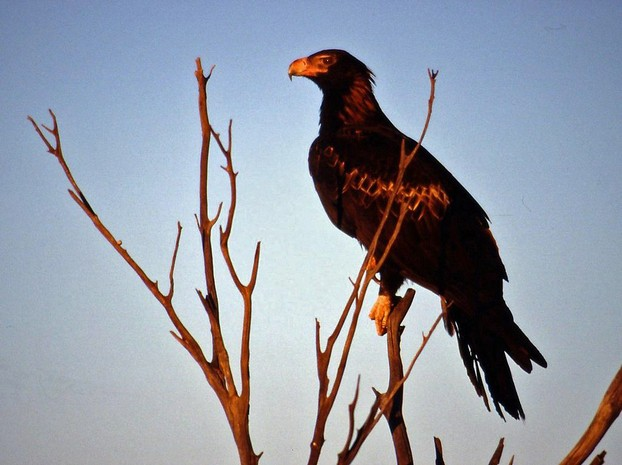 Wedge Tailed Eagle (Aquila audax)