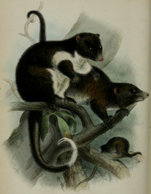 "Plate XXX, between pages 380-381: Robert Collett's ""On some apparently new Marsupials"" (1884)"