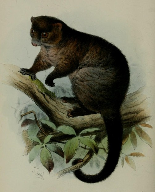 "Plate XXXI, between pages 380-381: Robert Collett's ""On some apparently new Marsupials"" (1884)"