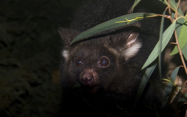 "Dark morph: ""The head of a greater glider, Petauroides volans, at night."""