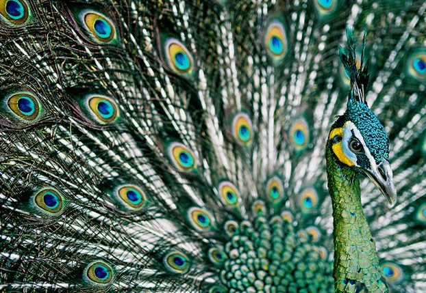 Picture Of Green Peacock