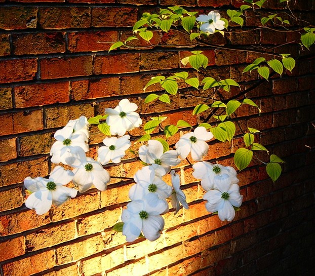 """Dogwood flowers, photographed at night"""