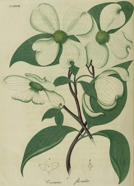 American Medical Botany, Vol. II, Plate XXVIII, pp. 72-73