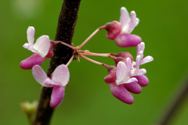 """A close view of the pink flowers on an eastern redbud tree."""