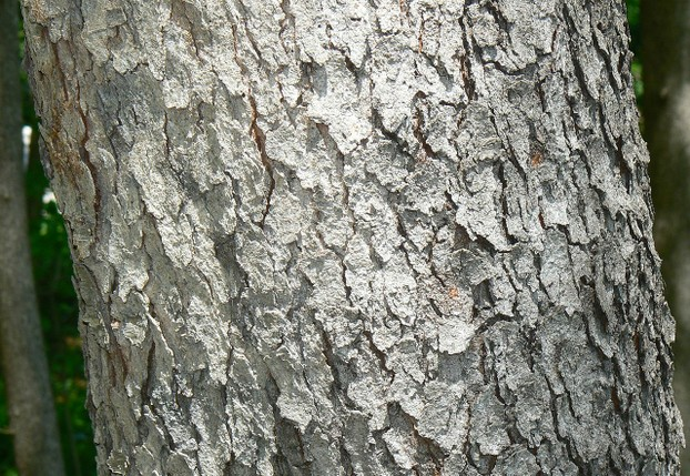Black Cherry (Prunus s... What Prunus Serotina Bark Look Like