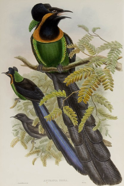 John Gould, The birds of New Guinea and the adjacent Papuan Islands, Vol. I.