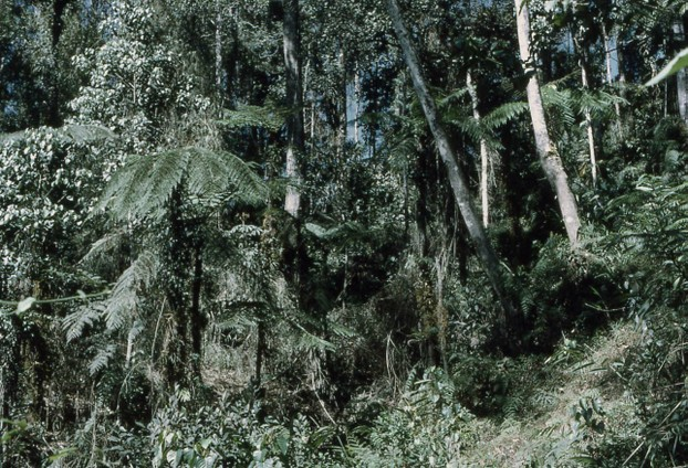Dense forest on mountain spurs: Owen Stanley Range, Bulldog Track, Papua New Guinea
