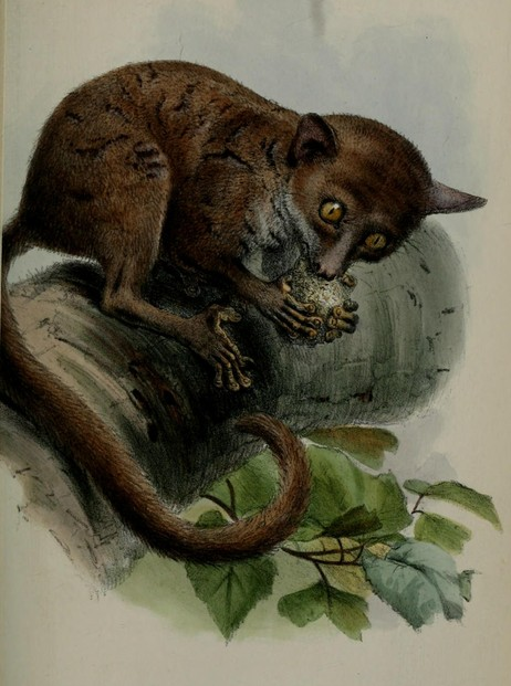 William Peters, Note on the Galago demidoffii of Fischer (1863), Plate XXXV, opp. p. 380