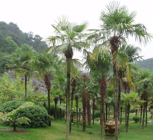 Chusan palm (Trachycarpus fortunei), also known as windmill palm or Chinese windmill palm