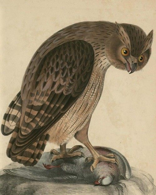 John Edward Gray, Illustrations of Indian Zoology (1833 - 1834), Vol. II