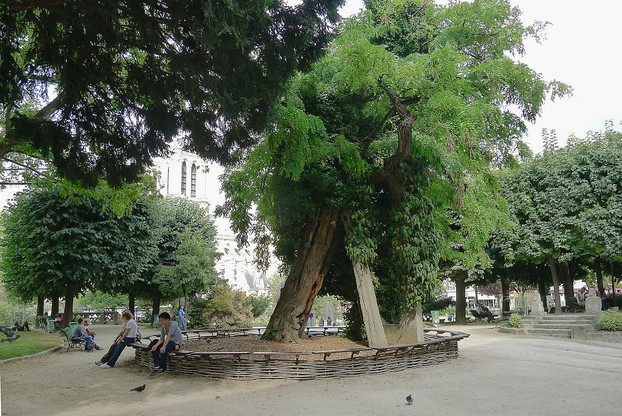 France's oldest black locust tree: sited on southwest corner of Square René-Viviani on Left Bank (Rive Gauche) of Seine