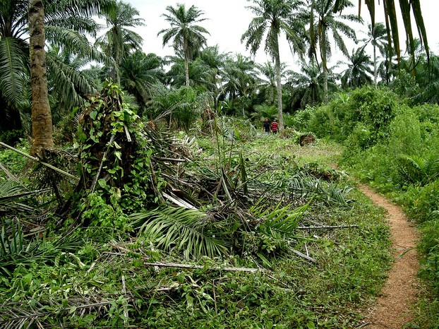 palm farm, Calabar, Cross River State, coastal southeastern Nigeria