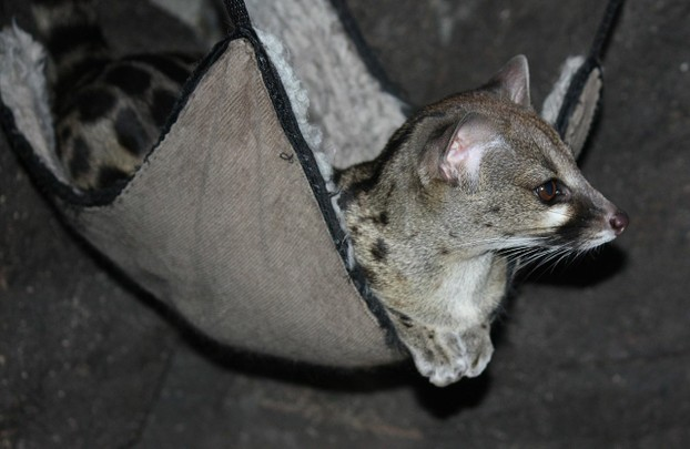 Large Spotted Genet Genetta tigrina at Cincinnati Zoo