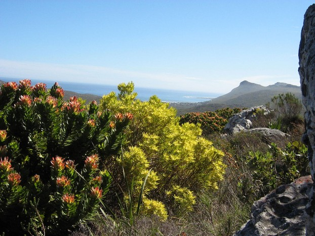 Mountain fynbos on the Cape Peninsula