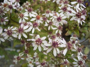 White Wood Aster, Licensed under CC BY 2.5.