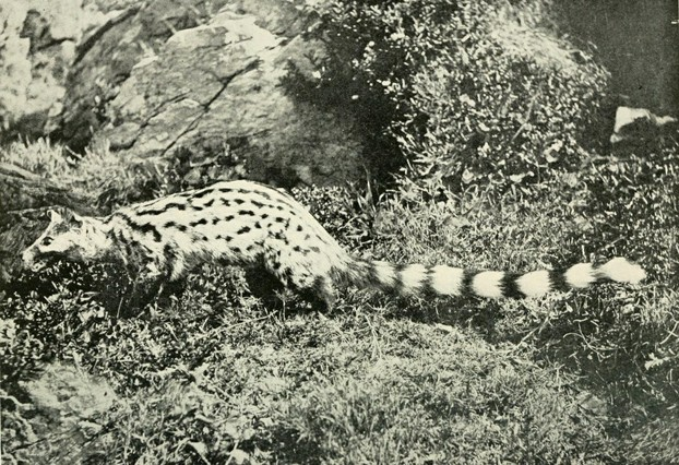 F.W. Fitzsimons, The Natural History of South Africa: Mammals (1919), Vol. II, opp. p. 11