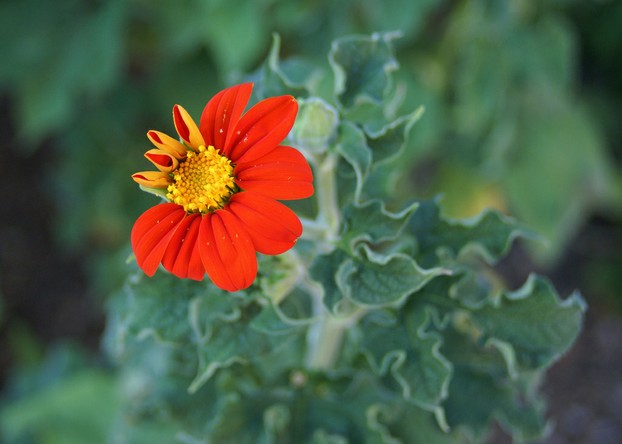 Mexican Sunflower (Tithonia rotundifolia) 'Torch': flowering foliage