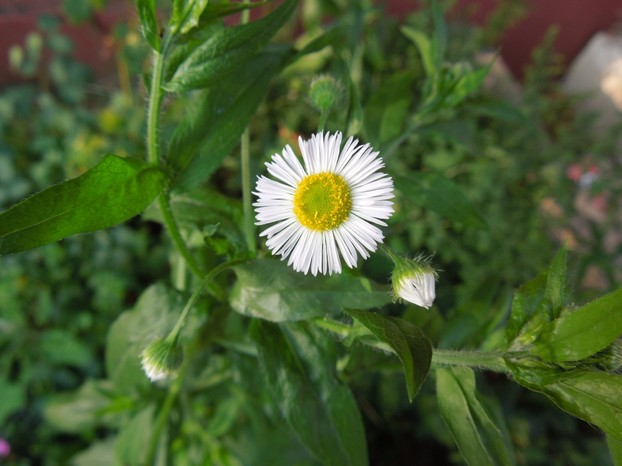 Erigeron annuus in bloom