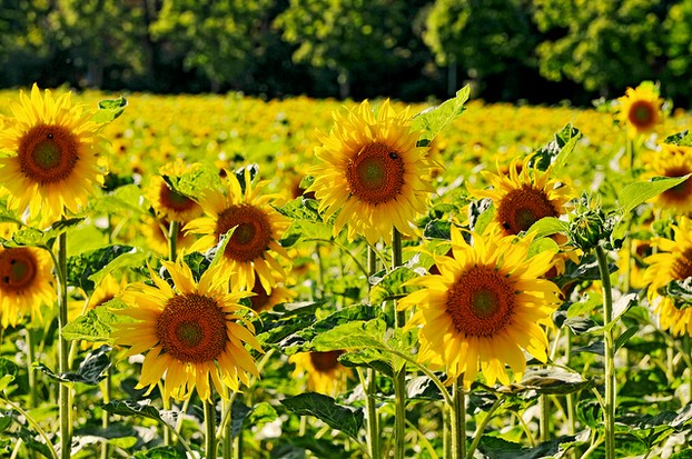 Sunflower Clocks Remind Us of Fields of Sunflowers
