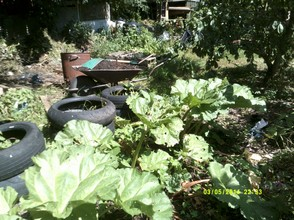 Rhubarb:well weeded by my son, Andrew