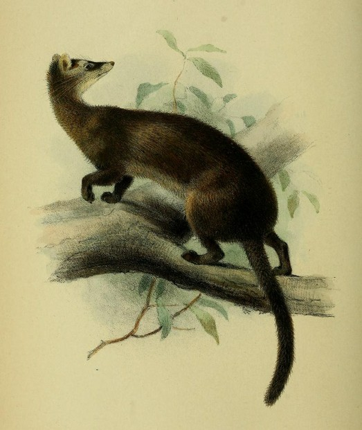 "Oldfield Thomas, ""On Some Mammals from Mount Dulit, North Borneo"" (1892) plate XVIII, opp. p. 220"