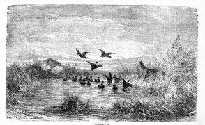 Tolling ducks in the 1880s