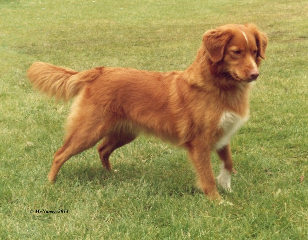 A champion female Nova Scotia Duck Tolling Retriever