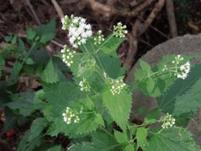 White Snakeroot in Bloom