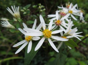 White Wood Aster in Bloom in Shade
