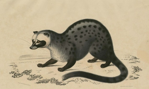 John Edward Gray, Illustrations of Indian Zoology, Vol. II (1833-1834), Plate 8