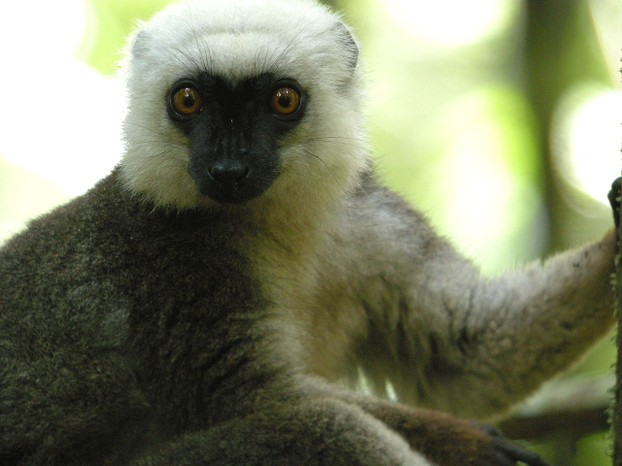 White-headed Lemur, Masoala National Park, Madagascar