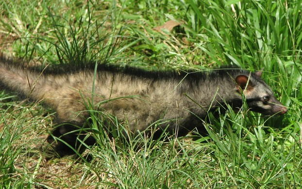 Asian Common Palm Civet walking
