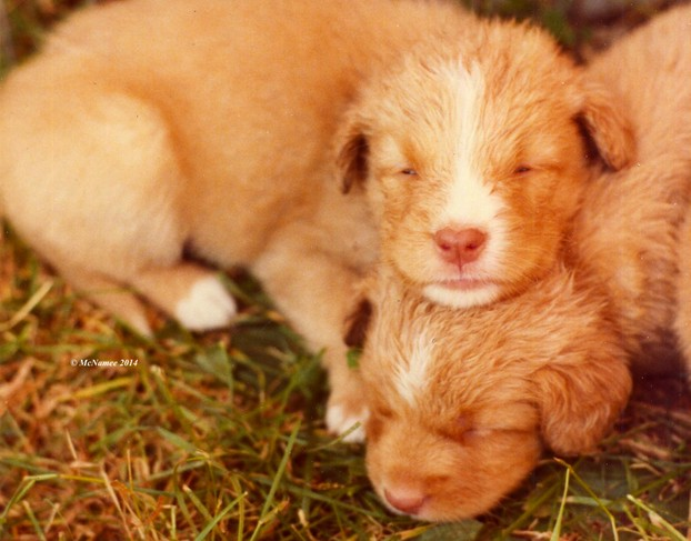 Young Nova Scotia Duck Tolling Retriever puppies