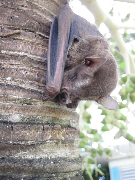 A Jamaican Fruit Bat that was roosting low down on a palm tree at Cottages.