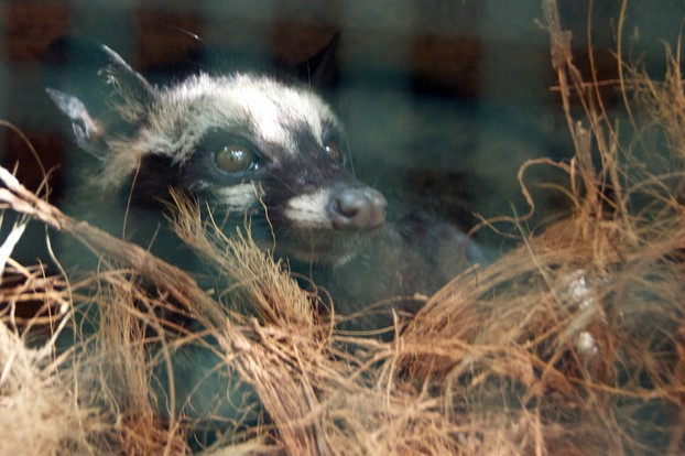 Asian common palm civet (Paradoxurus hermaphroditus)