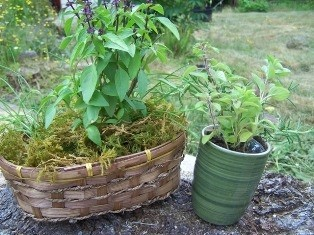 Herb garden in a basket and a cup • Wizzley.com