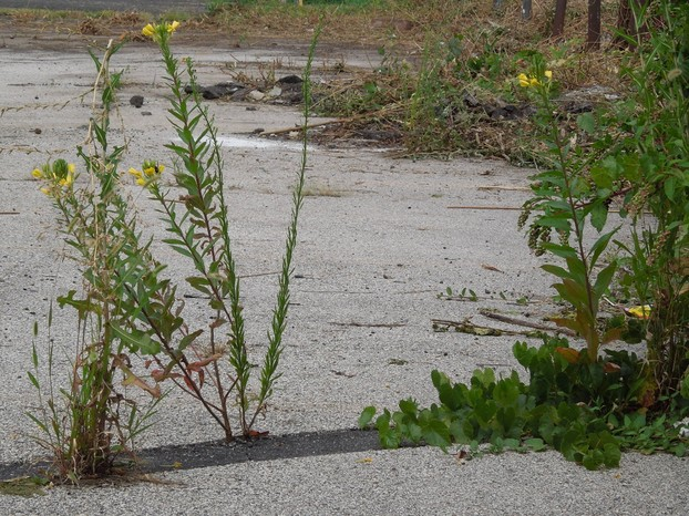 Evening Primrose Growing in a Crack in the Pavement